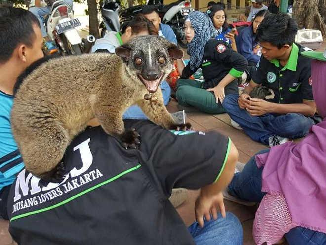 """Ativistas indonésios lutam contra uso de animais exóticos para """"estimação"""""""