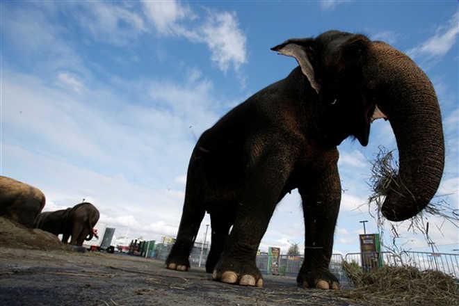 Indonesia veterinaria morre elefante