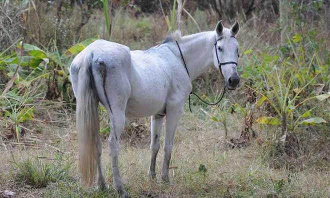 Égua que sofreu maus-tratos em Belo Horizonte (MG) é resgatada por ONG e tratada na UFMG