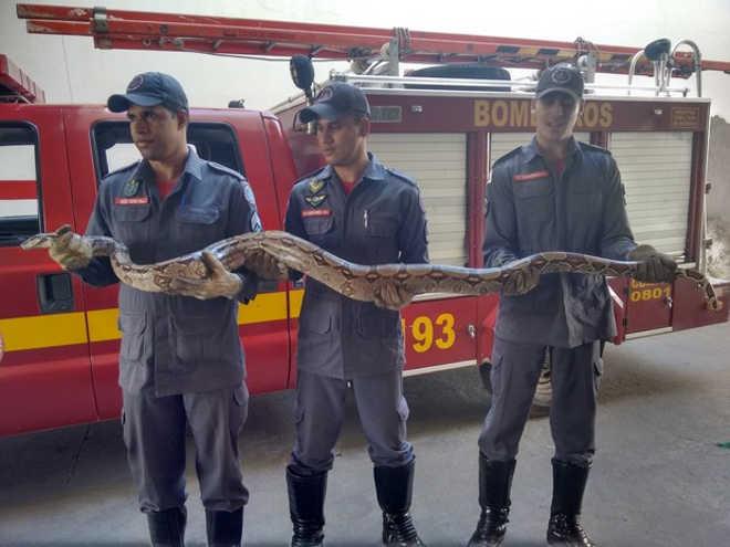 Jibóia de 2,5 metros é capturada em estrada de Governador Valadares, MG