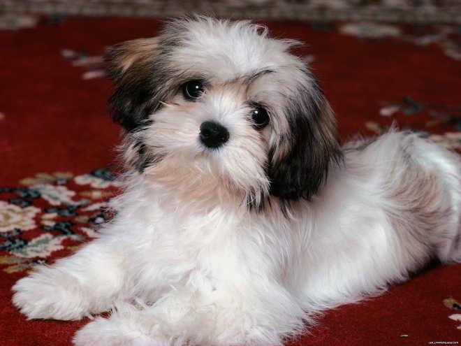 MS campogrande lhasa apso puppy