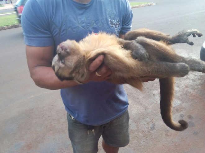 MS campogrande macaco prego atropelado
