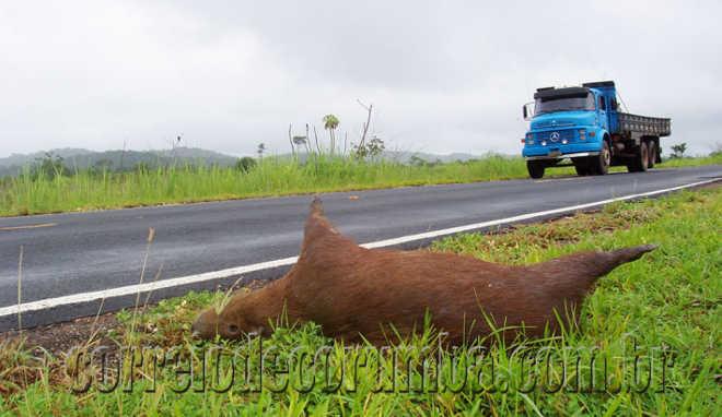 Projeto cria pontos de travessias de animais nas rodovias e ferrovias de MS