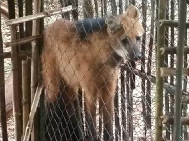 Assentados capturam lobo-guará em MS para evitar que ele coma galinhas, no MS