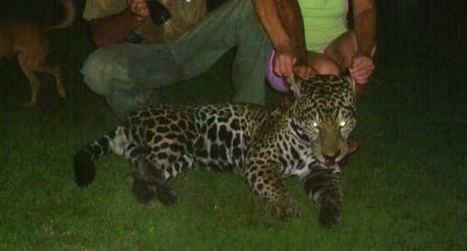 PF prende caçador de onças; fazendeiro 'pagava recompensa' para quem matasse animais