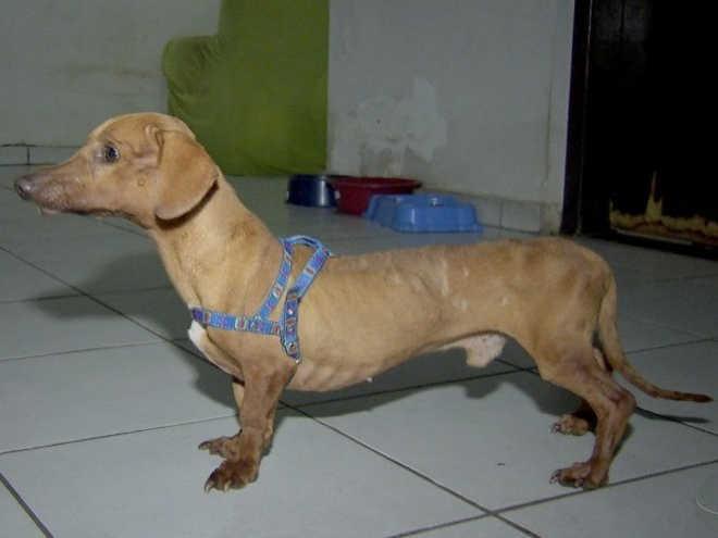 Resgatado com doença grave, cão ganha peso e precisa de acupuntura
