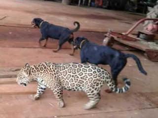 MT novomundo onca cachorro amizade H