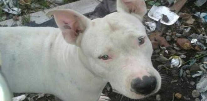 Ativistas pedem resgate de pitbulls explorados para segurança no Recife, PE