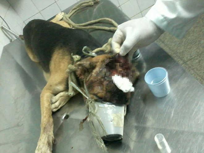 Cão é resgatado com larvas na cabeça e tutora intimada a depor em Teresina, PI