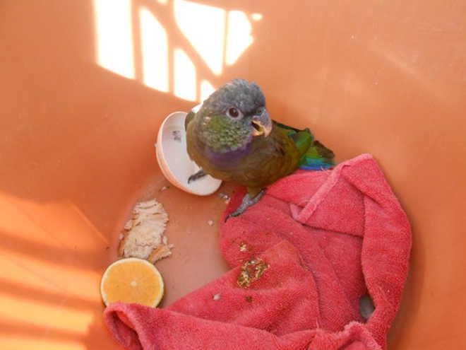 Papagaio aparece ferido em residência no bairro Chapada em Ponta Grossa, PR