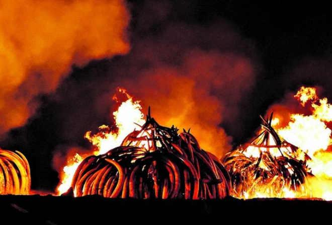 Maior queimada de marfim do mundo na luta contra massacre de elefantes
