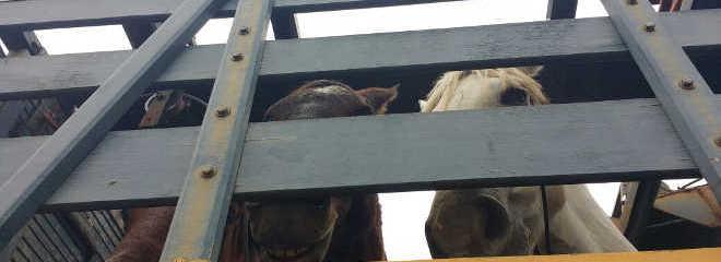 Prefeitura retira cavalos da Ilha de Paquetá nesta quinta-feira