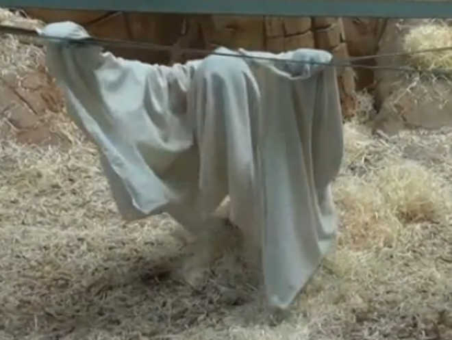 ReinoUnido orangotango fingindo ser fantasma