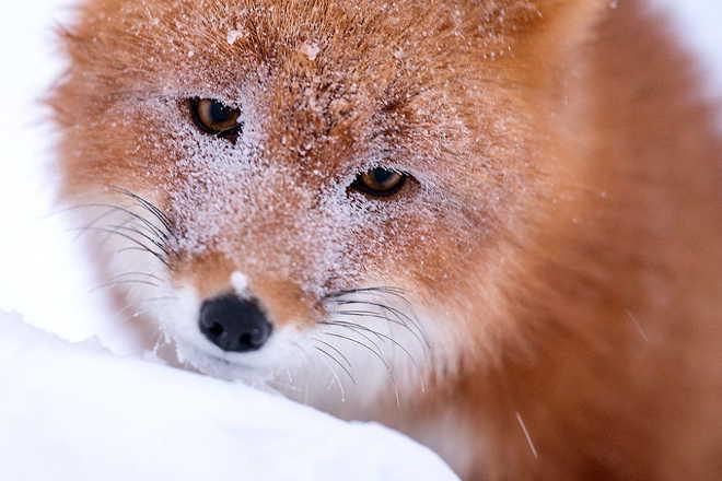 Mineiro russo tira fotos incríveis de raposas na selva