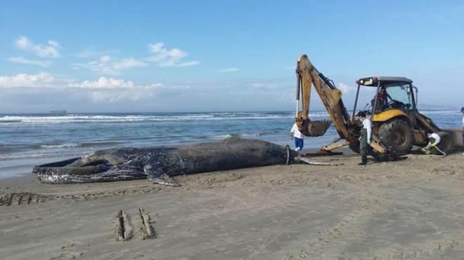 Duas baleias encalham em praias do sul de SC