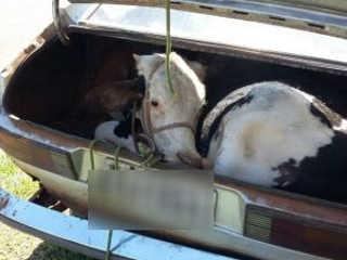 Grupo sequestra boi e carro quebra com animal no porta-malas durante fuga