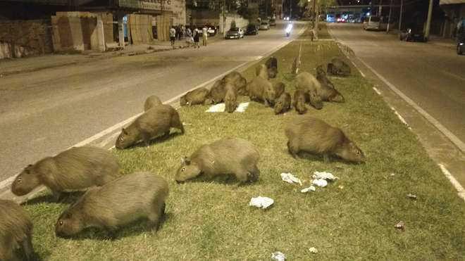 Moradores convivem com dezenas de capivaras em área urbana em Votorantim, SP