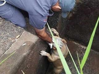 SP Votuporanga resgate pit cachorrooficial H