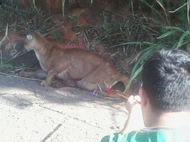 Onça parda resgatada após atropelamento morre em Botucatu, SP