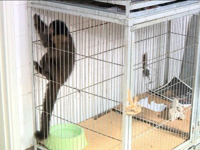 Polícia Ambiental apreende macaco que vivia com família em Campinas, SP