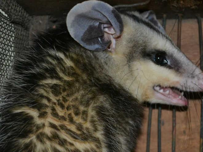 Morador resgata gambá saruê em Capivari (SP); animal vai para mata nativa