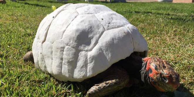 SP tartaruga salva impressao 3d
