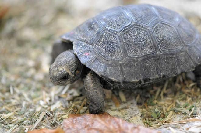 Mãe tartaruga de 80 anos de idade dá à luz a nove pequeninos bebês