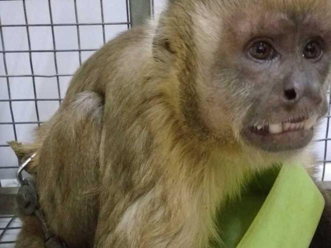 TO Tocantinia macaco prego foto grasiela pacheco governo do tocantins31