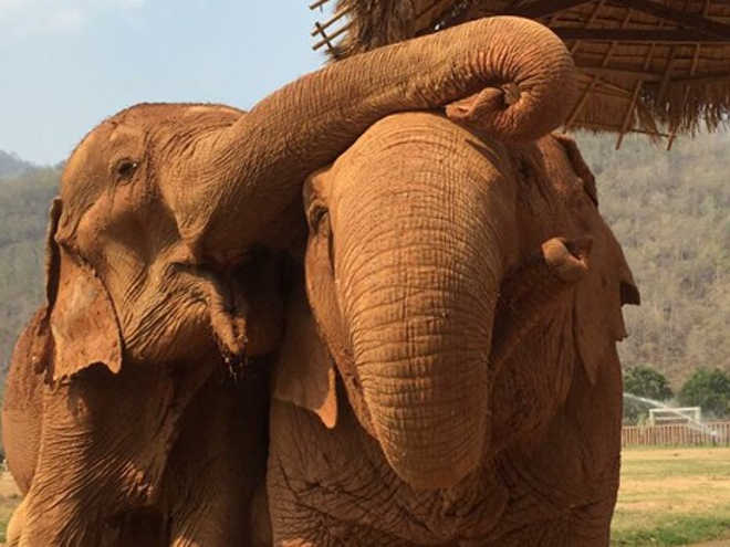 Tailandia amizadeelefantes 1