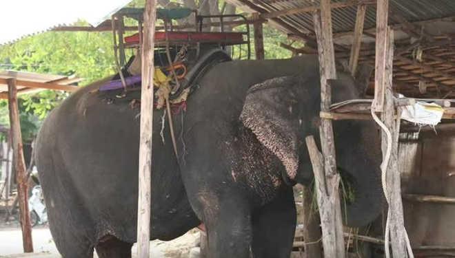 Elefanta abusada na Tailândia não tem ideia que ela está prestes a ser libertada