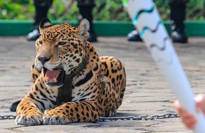 ONG de proteção aos animais fará manifestação em repúdio à morte de onça-pintada
