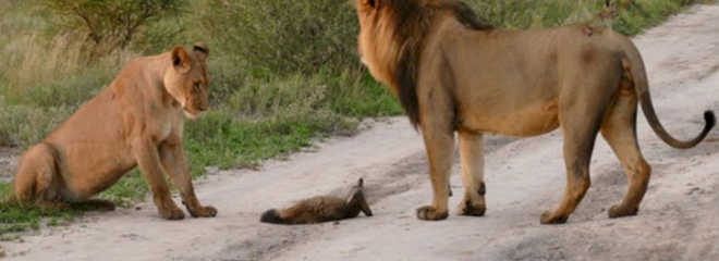 Leões caminham até raposa ferida, e o que acontece depois choca até os especialistas