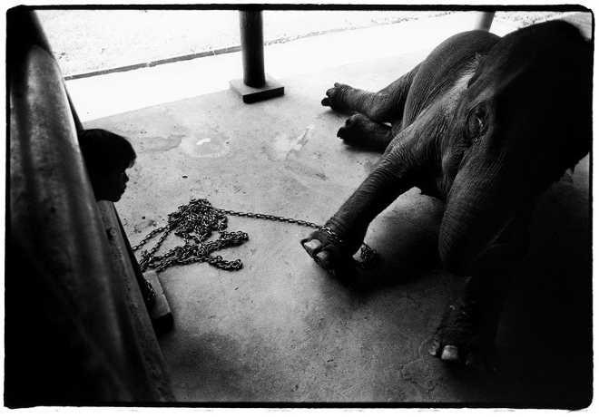 Bebê elefante acorrentado mostra como o comércio ilegal de vida selvagem transforma animais em mercadorias