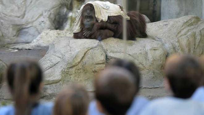 Adeus ao zoológico: a dura história da orangotango fêmea Sandra, o símbolo que ao final não virá para o Brasil