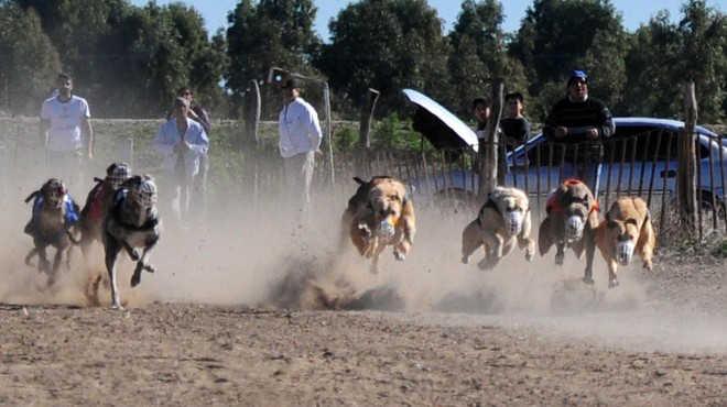 Deputados aprovam proibição de corrida de galgos em Neuquén, na Argentina