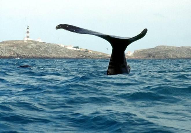 Cientistas aprovam criação do Santuário de Baleias do Atlântico Sul