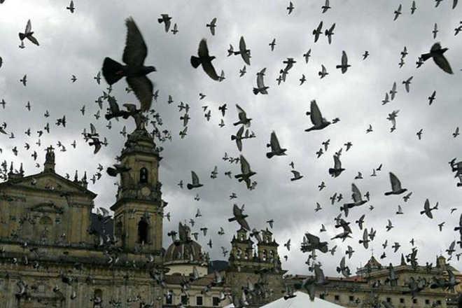 Colômbia: Bogotá busca controlar população de pombas com medidas contraceptivas