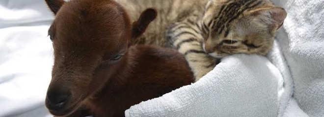 Gato doente ama cuidar da saúde de outros animais