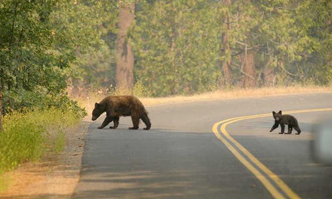 Urso jovem morto na Califórnia pode ter sido mutilado pelas partes de seu corpo