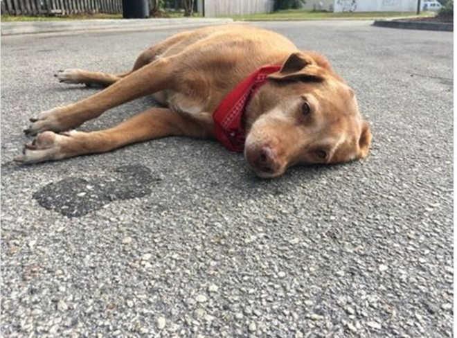 Cão de luto é flagrado deitado no meio da rua logo após sua tutora morrer atropelada no local