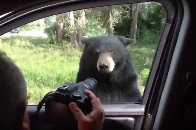 Urso abre a porta do carro com família lá dentro; vídeo