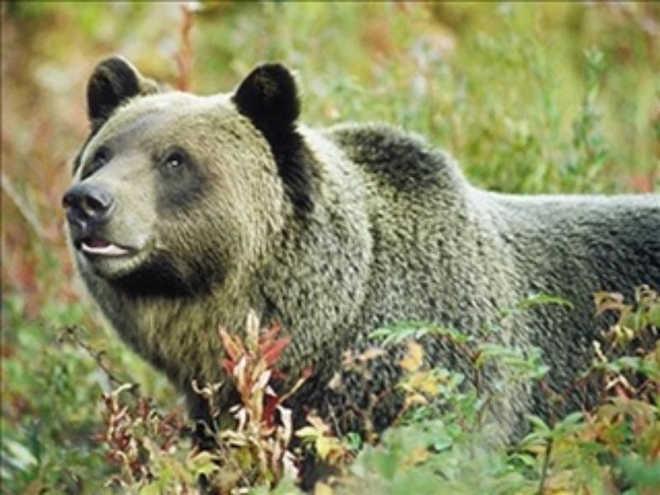 Grupo de direitos dos animais registra reclamação contra a Universidade de Washington State em virtude de mortes de ursos