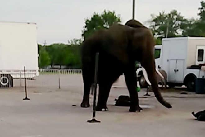 Vídeo revoltante mostra elefante de circo vivendo em condições precárias, exposto ao sol e sem água