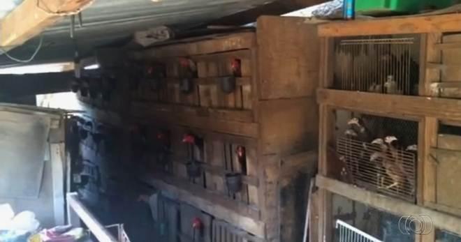 Ação localiza chácara usada para sediar rinhas de galos, em GO