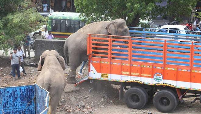 Elefantas de circos que estavam algemadas em correntes com cravos finalmente estão livres