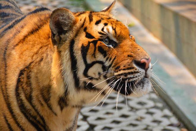 Projeto controverso de usina a carvão na Índia ameaça o Tigre de Bengala