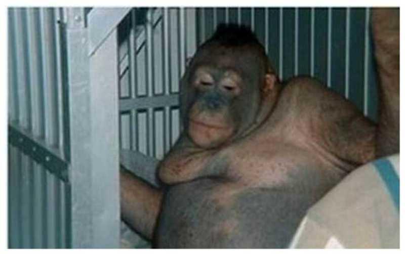 Orangotango usada como prostituta é resgatada de bordel