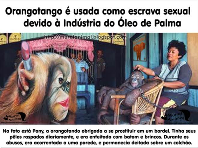 Indonesia Borneu prostituicao orangotango2