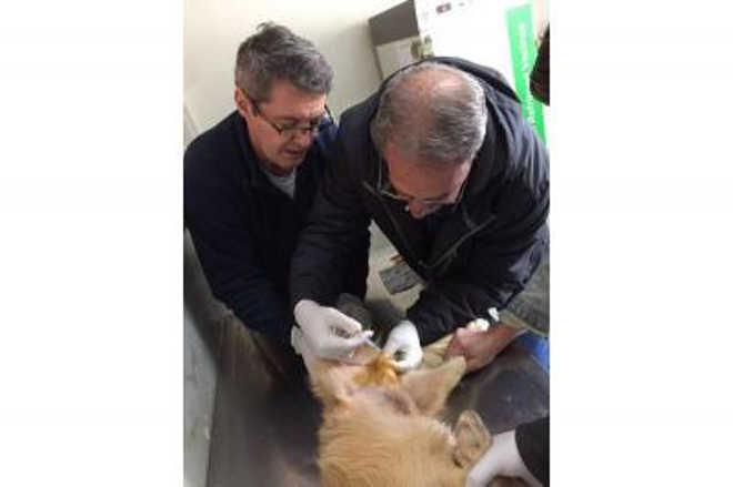 Canil Municipal inicia projeto piloto de castração química de cães em Chapadão do Sul, MS
