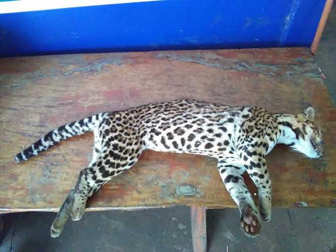 Jaguatirica morre atropelada em rodovia e PMA recolhe animal em Dourados, MS